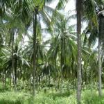 Peluang Pasar Produk dari Kelapa Indonesia: Analisa Dampak dari Menipisnya Cadangan Minyak Bumi dan Perubahan Iklim